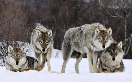 Волчатник из Якутии