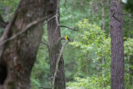 Прогулка по лесу с манком