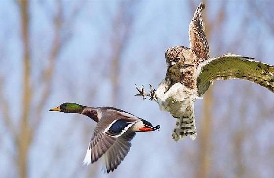 Хищные Птицы в Деле