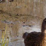 Весенняя охота на таёжном пруду с подсадной уткой