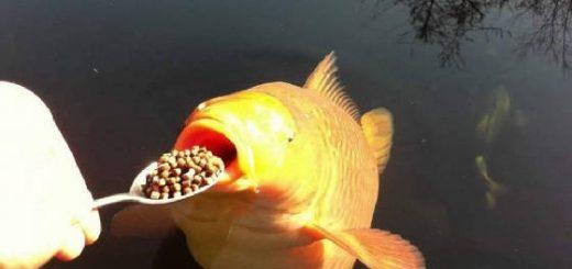 приваживание рыбы