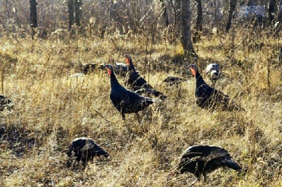 Охота на дикую индейку с манками и чучелами