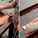 Разделка лосося в походных условиях