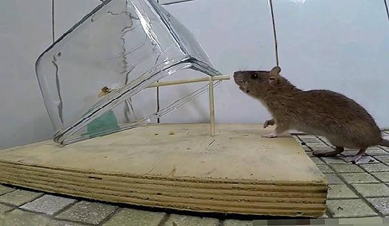 Как поймать крысу?