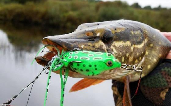 Ловля на жмых и лягушку