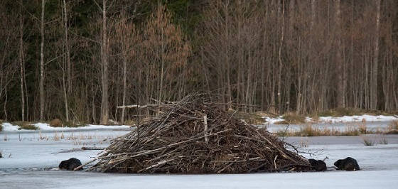 Охота на бобра зимой по полыньям