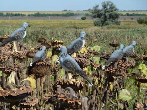 Что нужно знать перед охотой на голубя?