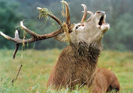 Охота на изюбря-пантача в сибирской тайге