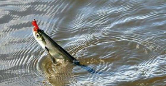Ловля чехони на мелководье в разгар лета
