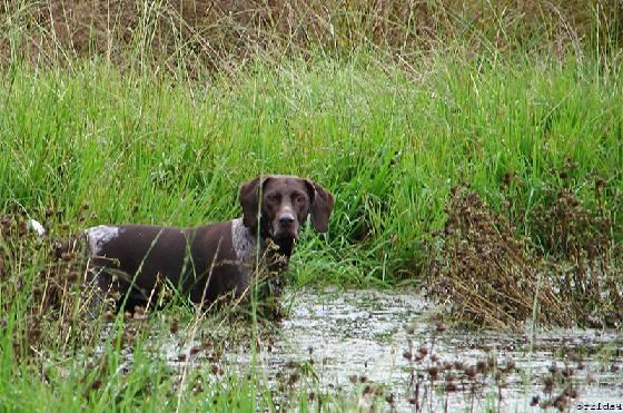 Натаска охотничьих собак перед сезоном