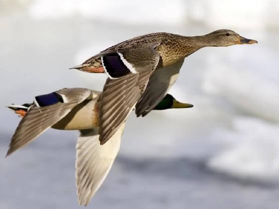 подготовка к открытию охоты на водоплавающую птицу