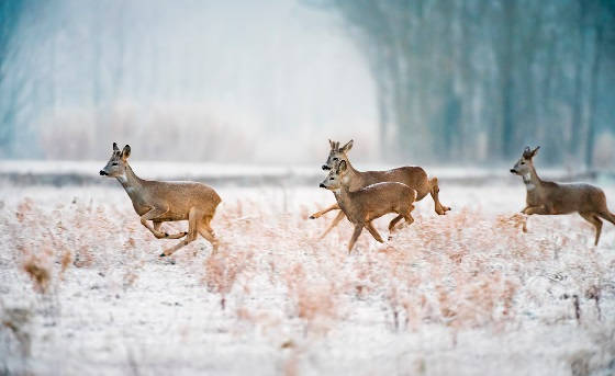 Утренняя охота на косулю и кабана