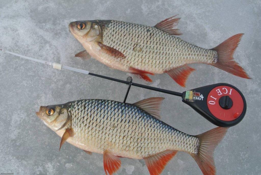 Зимняя ловля красноперки